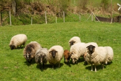Lengenbecks Schafe-1