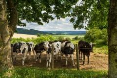 """Naturfenster """"Rinder bei Holthausen"""""""