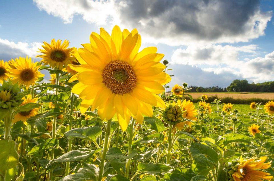 Mach es wie die Sonnenblume…