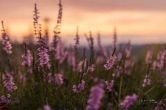 Blühende Heide im Abendlicht 1