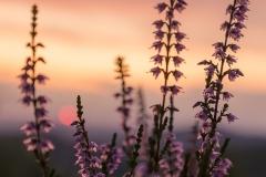 Blühende Heide im Abendlicht 4
