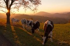 Kühe-im-Abendlicht