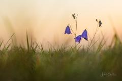Glockenblume-im-Abendlicht-2