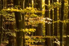 Buchenwald-im-Herbst-01