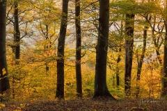 Buchenwald-im-Herbst-07