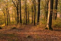 Buchenwald-im-Herbst-09