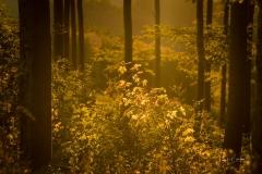 Goldene Stunde im Herbstwald 3
