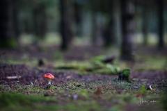 Fliegenpilze im Herbstwald 1