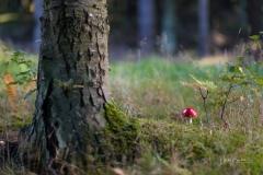 Fliegenpilze im Herbstwald 3