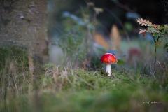 Fliegenpilze im Herbstwald 4