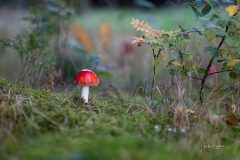 Fliegenpilze im Herbstwald 5