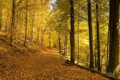 Buchenwald im Herbst 1