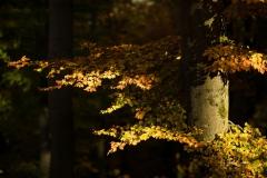 Buchenwald im Herbst 3