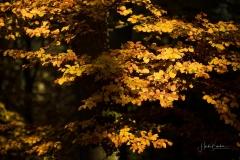 Buchenwald im Herbst 4
