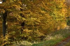 Buchenwald im Herbst 8