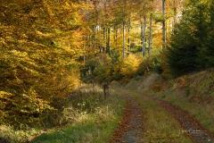 Buchenwald im Herbst 9
