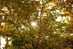 Buchenwald im Herbst 10