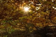 Buchenwald im Herbst 11