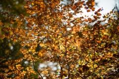Buchenwald im Herbst 12