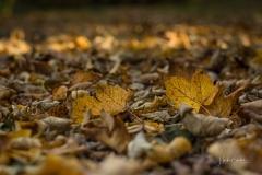 Buchenwald im Herbst 15