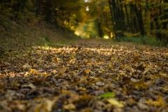 Buchenwald im Herbst 16