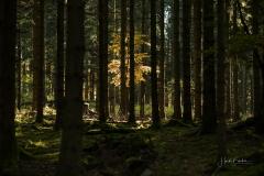 Fichten- und Buchenwald im Herbst 2