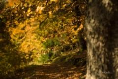Buchenwald im Herbst 17