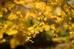Golden leuchtendes Herbstlaub 1