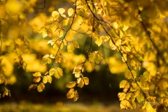 Golden leuchtendes Herbstlaub 2