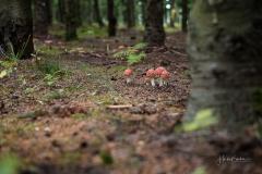 Fliegenpilze im Herbstwald 7