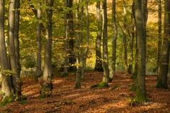 Sonnendurchfluteter Buchenwald im Herbst 1