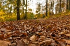 Sonnendurchfluteter Buchenwald im Herbst 3