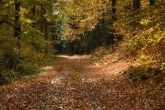 Sonnendurchfluteter Buchenwald im Herbst 4