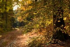 Sonnendurchfluteter Buchenwald im Herbst 5