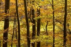 Sonnendurchfluteter Buchenwald im Herbst 8