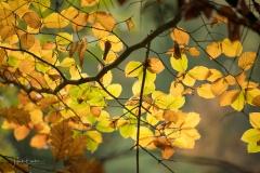 Golden leuchtendes Herbstlaub 4
