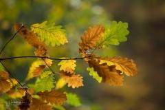 Golden leuchtendes Herbstlaub 5
