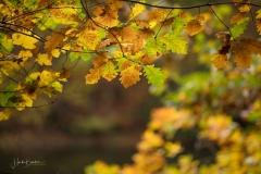 Golden leuchtendes Herbstlaub 7
