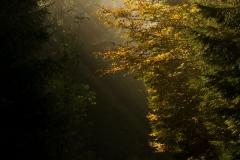 Sonnendurchfluteter Buchenwald im Herbst 9