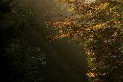 Sonnendurchfluteter Buchenwald im Herbst 10