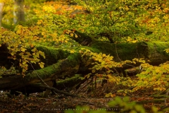 Herbstwald am Nordhang des Kahlen Asten 10
