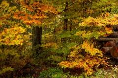 Herbstlich verfärbter Buchenwald 2