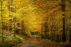 Herbstlich verfärbter Buchenwald 3