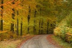 Herbstlich verfärbter Buchenwald 4