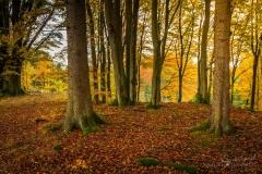 Herbstlicher Buchenwald 3