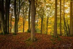 Herbstlicher Buchenwald 4