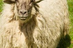 Lengenbecks Schafe-2