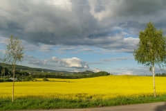 Rapsfeld bei Laer 15