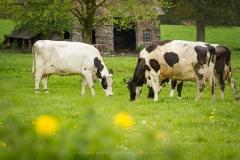 Kühe in Büenfeld 1