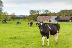 Kühe in Büenfeld 2